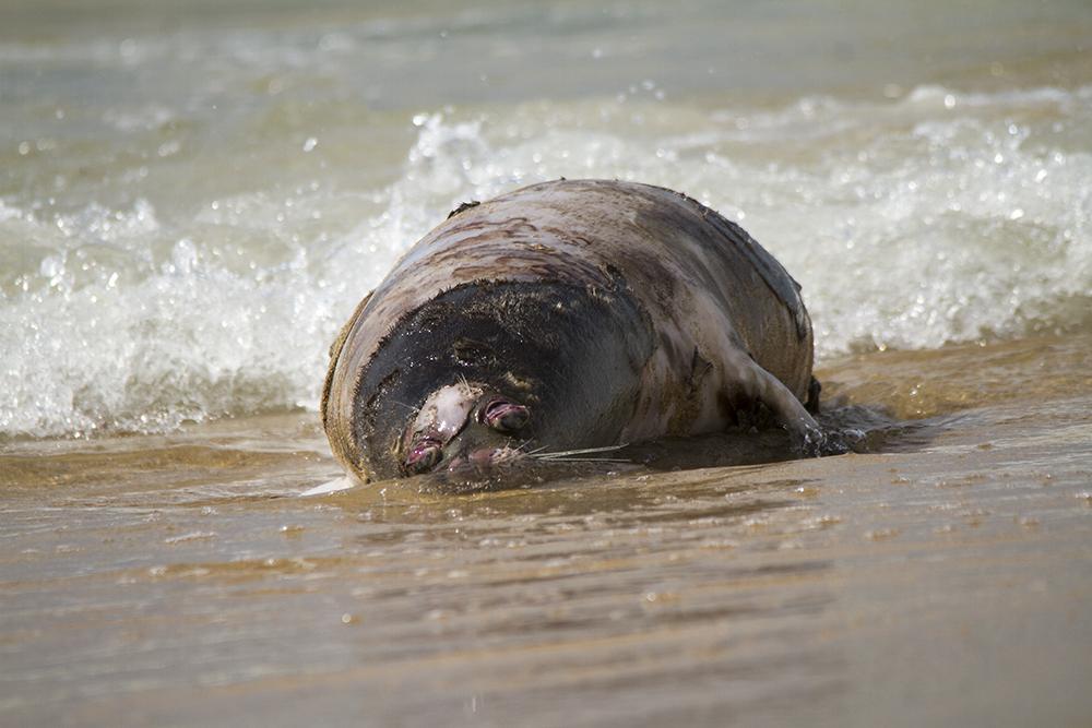 Наберег Каспия вФорте-Шевченко выбросило мертвых тюленей