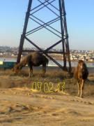 Верблюды в Заозерном