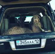 Даже верблюды передвигаются на лексусах в Актау :)