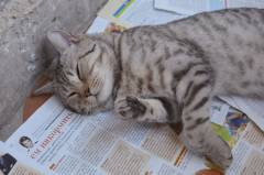 Породистый кот на передержке, отдам в добрые руки