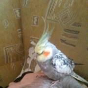 Пропал попугайчик!!