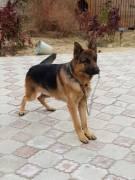 Пропала собака (немецкая овчарка)