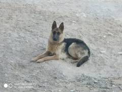 Пропала немецкая овчарка