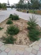 Да скажите акимату, что деревья нужно поливать!