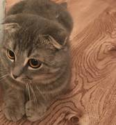 Пропал кот веслоухий 33мкр вернуть за вознаграждение