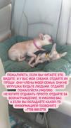 Пропали 2 собаки породы чихуахуа