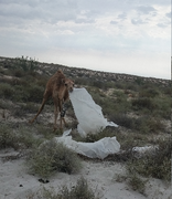 Деликатесный корм для верблюдов.