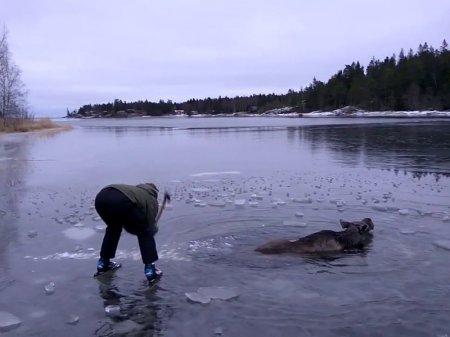 В Швеции супружеская пара спасла провалившегося под лед лося