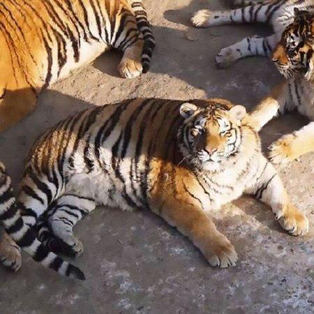 Амурские тигры-толстяки рассмешили пользователей Сети