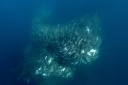 Как анчоусы спасаются от акул. Уникальное видео