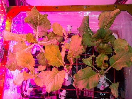 Первый урожай китайской капусты собрала астронавт NASA на МКС