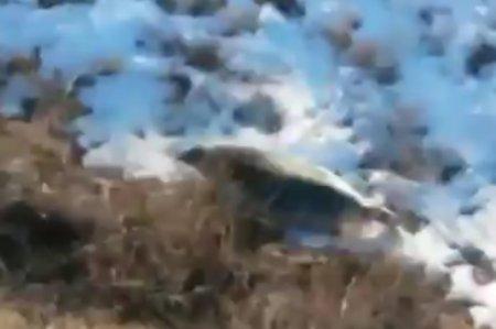 Тюлень заблудился на трассе Каражанбас-Каламкас ВИДЕО