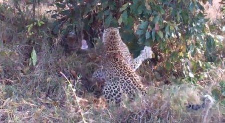 Смертельную битву леопарда с гигантским питоном сняли на камеру