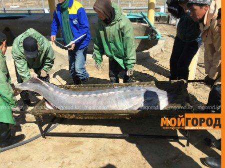 Белугу с 30 килограммами икры выловили рыбаки в реке Урал