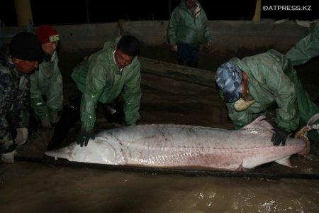 """В Атырау из огромной """"царь-рыбы"""" сцедили 30 килограммов икры"""