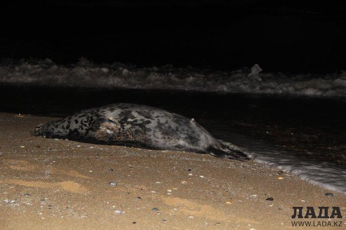 Темирбек Асауов: Во избежание распространения инфекции мертвых тюленей сжигают на полигоне в Форт-Шевченко