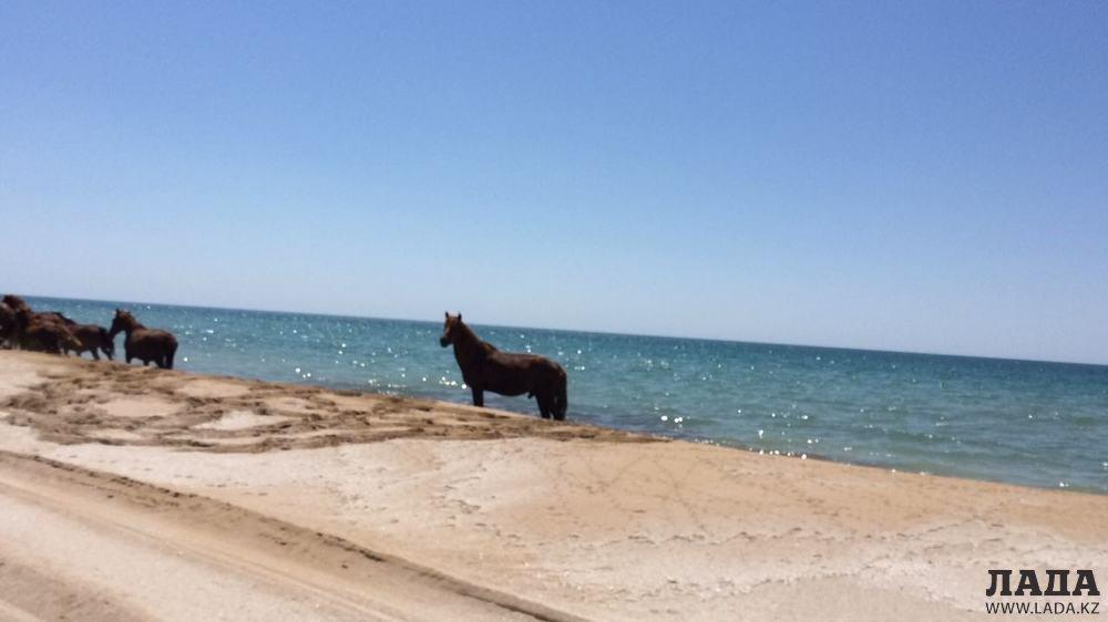 Лошади на побережье Мангистау. ВИДЕО