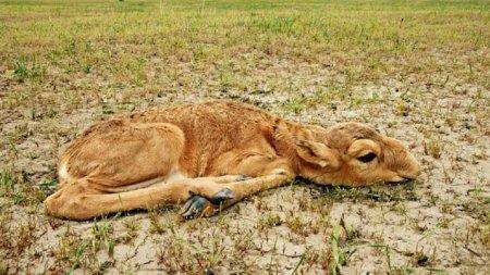 Европейские ученые выдвинули версию массовой гибели сайги в Казахстане