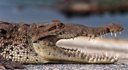 Самолет сбил 200-килограммового аллигатора в Орландо