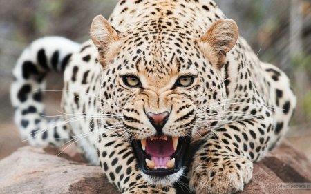 Мяукающие гепарды «перевернули» жизнь пользователей сети