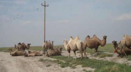 Верблюды гибнут от укусов пауков-каракуртов в Атырауской области