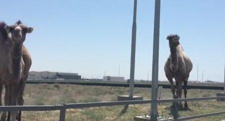 Верблюд поющий на заправке ВИДЕО