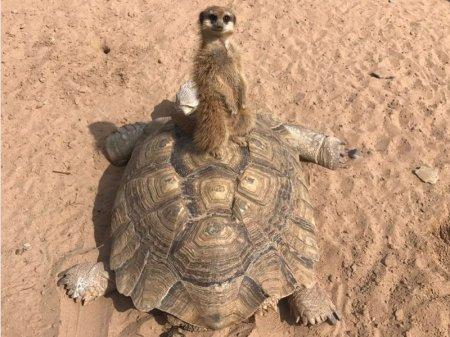 Сурикат и черепаха стали лучшими друзьями в Алматы