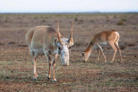 За отстрел стада сайгаков браконьеры заплатили 75 млн тенге и лишились свободы