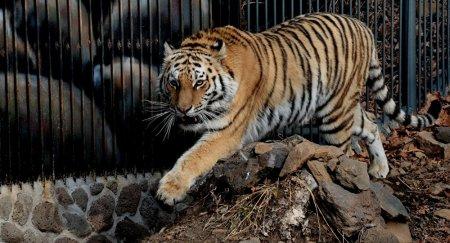 Ди Каприо: Казахстан первым вернет тигров в Среднюю Азию