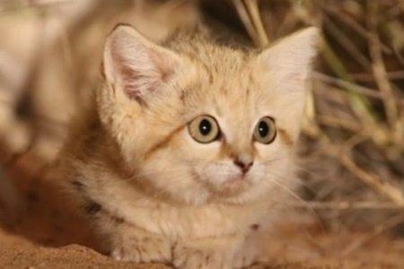 В Сахаре впервые сняли на видео барханных котят