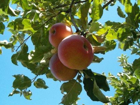 Яблоки и тюльпаны станут туристическим брендом Казахстана
