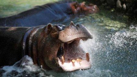 Схватку крокодила со стадом бегемотов сняли на видео