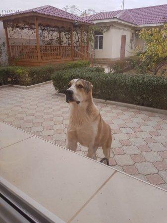 Пропала собака породы алабай