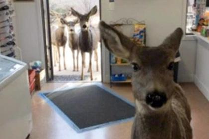 Олениха ушла из магазина с шоколадкой и вернулась с другими оленями