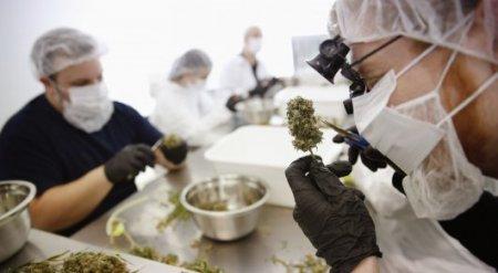Австралия легализовала экспорт марихуаны - СМИ