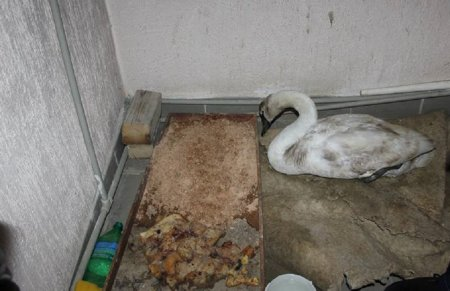 Жители Мангистау спасли найденного в степи лебедя
