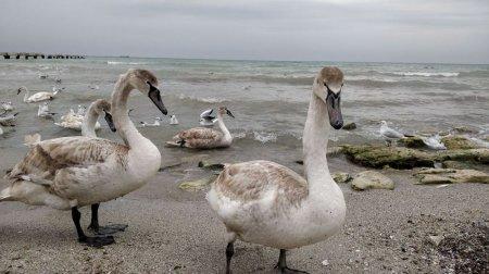 На побережье Актау голодают лебеди. ВИДЕО