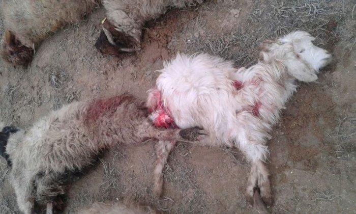 Версии причины массовой гибели домашнего скота высказали жители и акимат села Саин Шапагатов