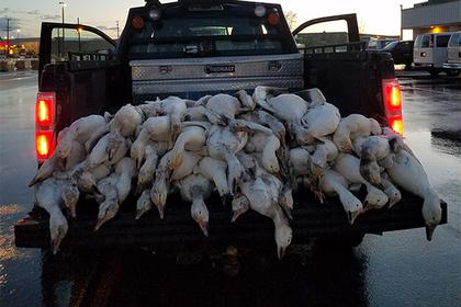 Десятки мертвых гусей упали на американский город