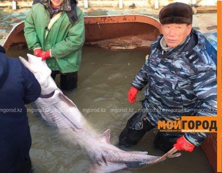 В Атырау выловили белугу весом 100 килограммов