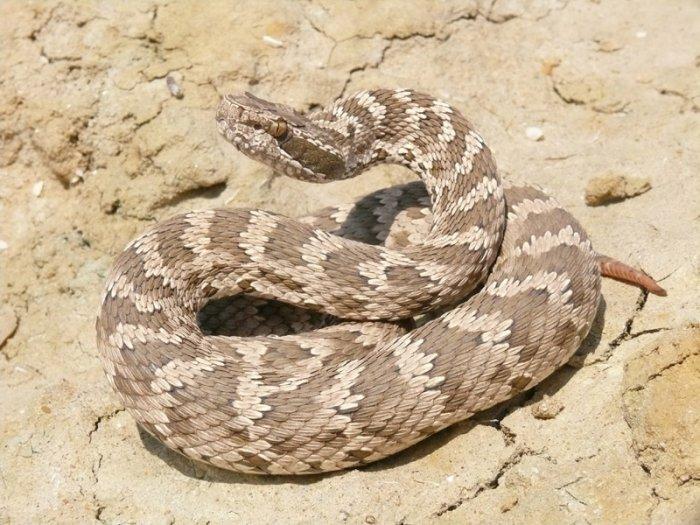 Тактика ненападения: В Мангистау обитают восемь видов змей