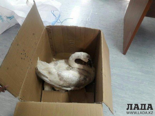 Мангистауские нефтяники нашли лебедя на месторождении