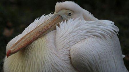 В чучеле пеликана в киевском музее нашли 178-летнюю записку
