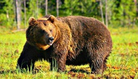 Жители ВКО страдают от массового нашествия голодных медведей