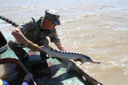 Севрюг с чипами выпустили в Каспий в Атырау
