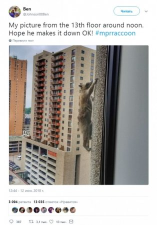 Американцы по всей стране переживают за судьбу енота, забравшегося на 23 этаж небоскреба