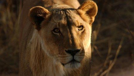 Львы загрызли браконьеров, покушавшихся на рога носорогов