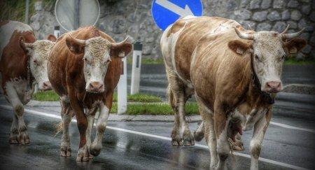 Грузовик протаранил стадо коров в Казахстане - шокирующее видео