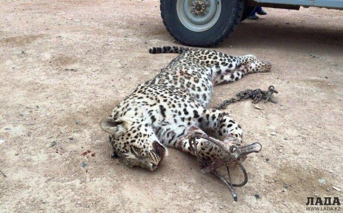 Переднеазиатский леопард попал в фотоловушку в Устюртском заповеднике