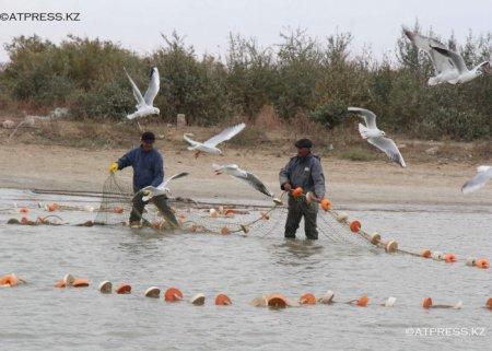 В Атырау выловлена белуга весом более 80 кг
